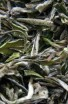 Bai Hao Mu Tan - Bílý čaj - Čínský čaj