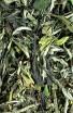 Pai Mu Tan King (100g) - Bílý čaj - Čínský čaj