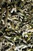 White Monkey - Zelený čaj - Čínský čaj